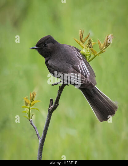 Black Phoebe (Sayornis nigricans) perched - Stock Image