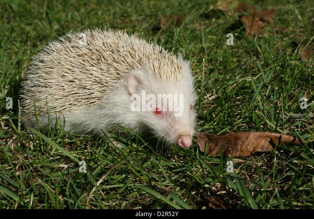 albino hedgehog stock photos albino hedgehog stock images alamy. Black Bedroom Furniture Sets. Home Design Ideas