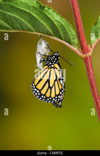Adult Monarch butterfly hangs onto empty chrysalis to pump meconium from abdomen into wings, Summer, NS, Series - Stock Image