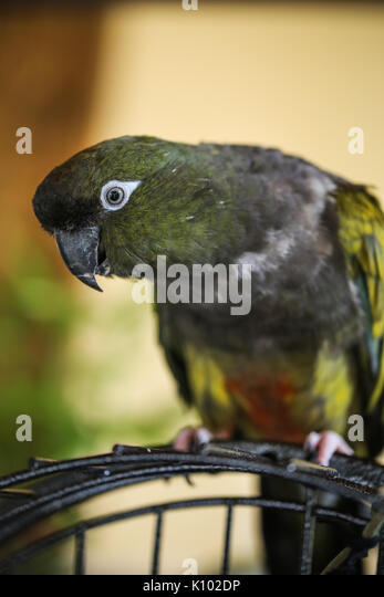 A green parrot - Stock Image
