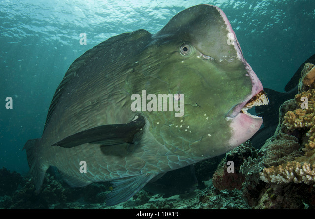 Humphead parrotfish, Malaysia Sipdan island (Bolbometopon muricatum) - Stock Image