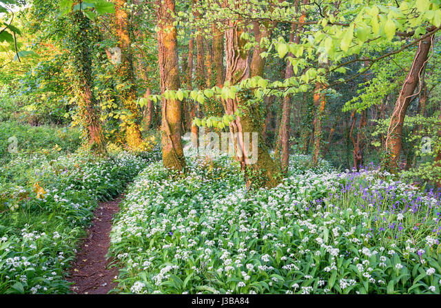 Wild garlic and bluebells in woodland near Camborne in Cornwall - Stock Image