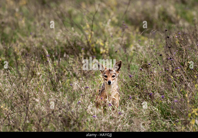 Curious but shy Jackal - Stock Image