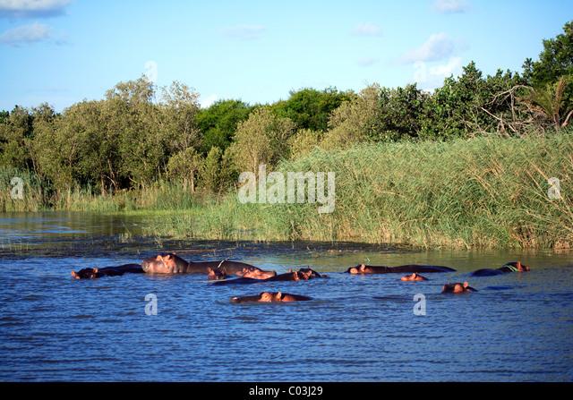 Hippopotamus (Hippopatamus amphibius), group in the water, St. Lucia Wetland Park, South Africa, Africa - Stock-Bilder
