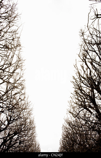 Rows of trees, low angle - Stock Image