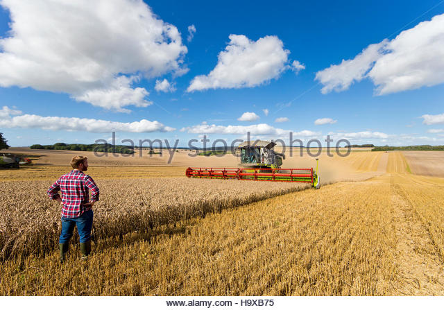 Rear View Of Farmer Standing In Wheat Field At Harvest - Stock Image