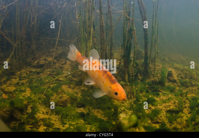 Tench fish stock photos tench fish stock images alamy for Golden ornamental pond fish