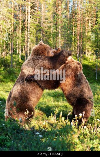 Bear fight - Stock Image