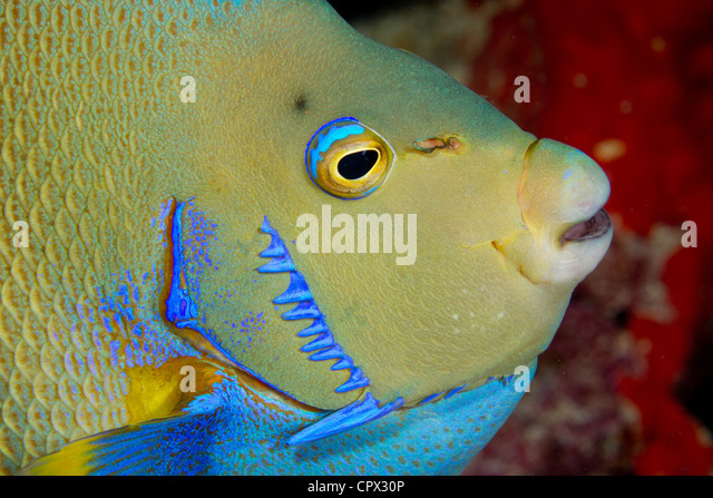 Closeup of Blue Angelfish - Stock Image