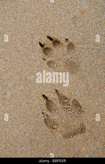 Dog paw prints in sand at Dornoch beach, east coast, Sutherland Scotland - Stock Image