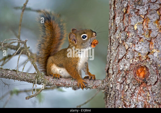 |Baby Red Squirrel in tree with spruce cone - Stock Image