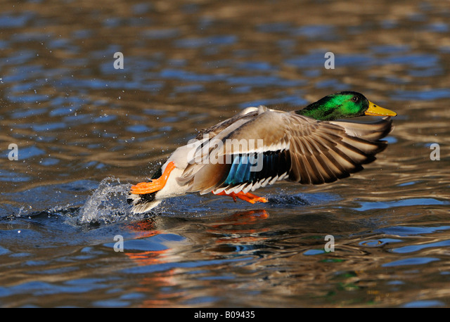 Mallard Duck (Anas platyrhynchos), drake taking off from the water's surface - Stock Image