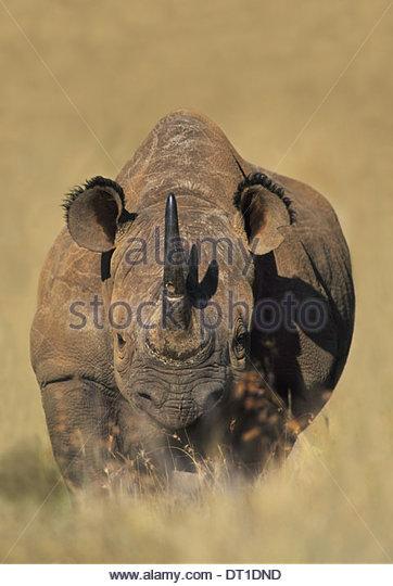 Kenya White rhinoceros Ceratotherium simum Kenya - Stock Image