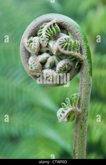 Fern leaf just about to unfurl,  a type of pteridophyte plant - Stock Image