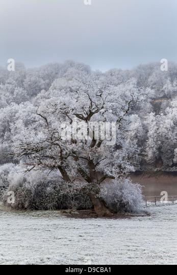 HOAR FROST ON OAK TREE IN THE WYE VALLEY NEAR CHEPSTOW WALES UK - Stock Image