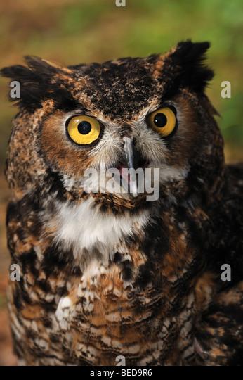 Great horned owl, Bubo virginianus, Florida, captive - Stock Image