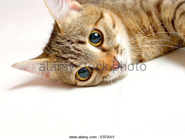 Gray Striped Cat Big Eyes Staring