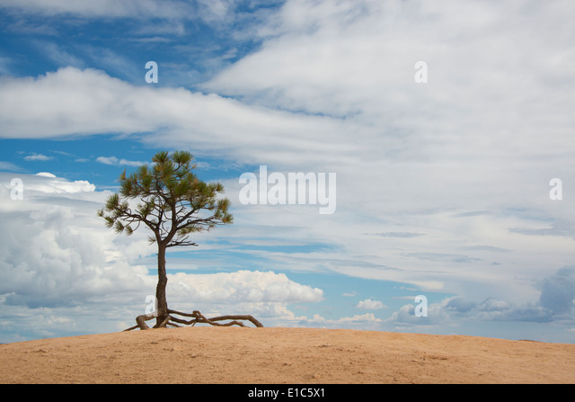A single tree with aerial roots in a desert landscape, in the Bryce national park. - Stock Image