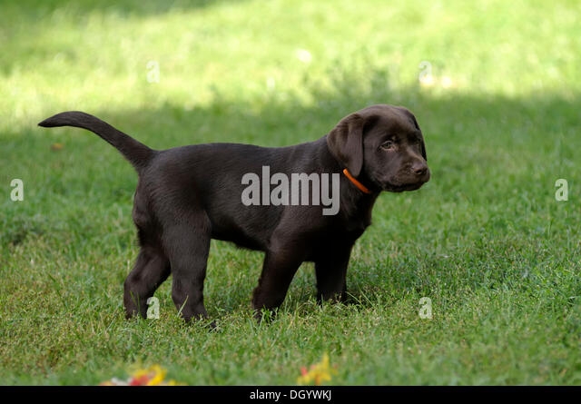 Brown Labrador Retriever, puppy standing in a meadow - Stock Image