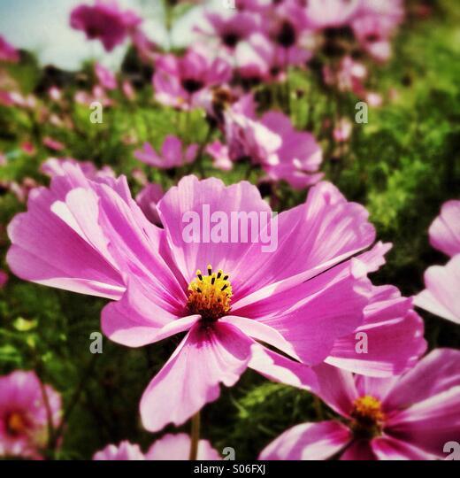 Cosmos daisy, pink summer flower - Stock Image