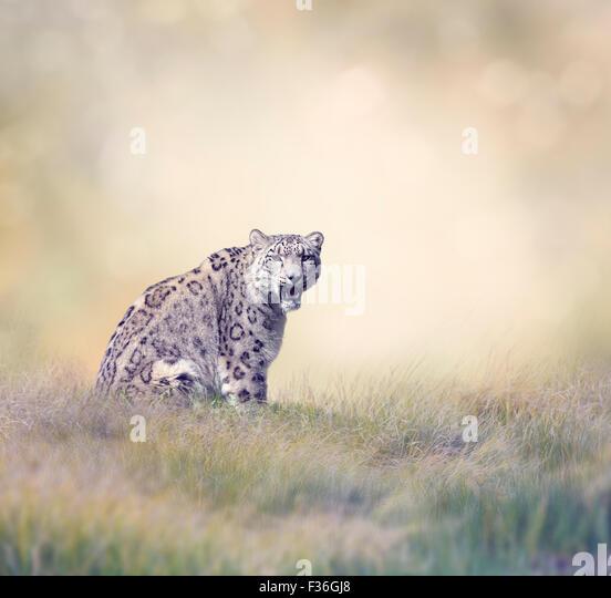 Snow Leopard in the Grass - Stock-Bilder
