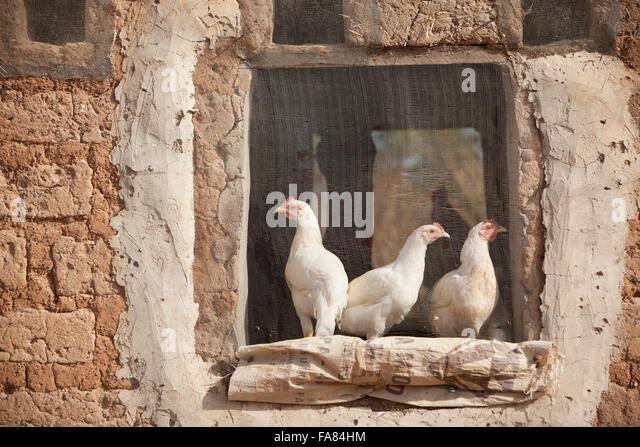 Chickens sit in the screened window of a barn in Tengréla Village, Burkina Faso. - Stock Image