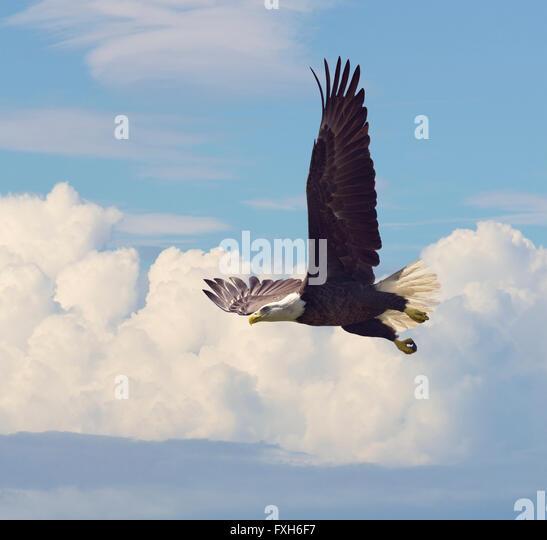 Bald Eagle in Flight against the Sky - Stock-Bilder