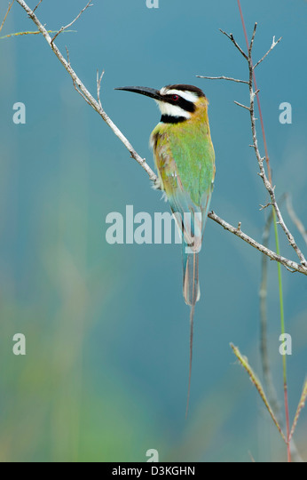 White-throated bee-eater, Shimba Hills National Reserve, Kenya - Stock Image