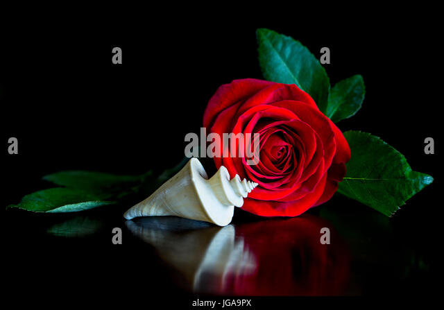 Still Life with Red Rose and Elegant Thatcheria Shell -spires and spirals - Stock Image