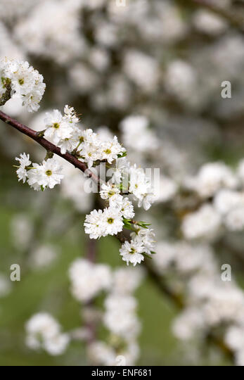 how to grow prunus spinosa from seed