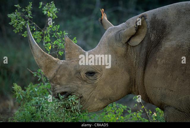 Black Rhino (Diceros bicornis), browsing, Lapalala, South Africa, Africa - Stock Image