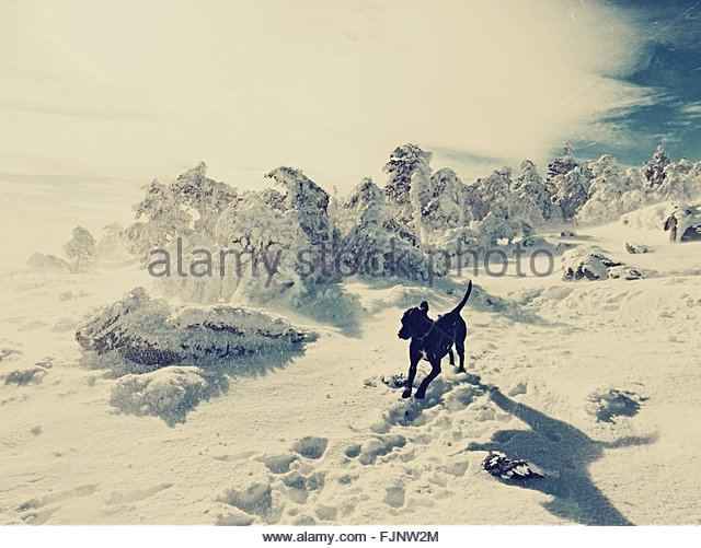 Dog Running On Snow Covered Landscape - Stock Image