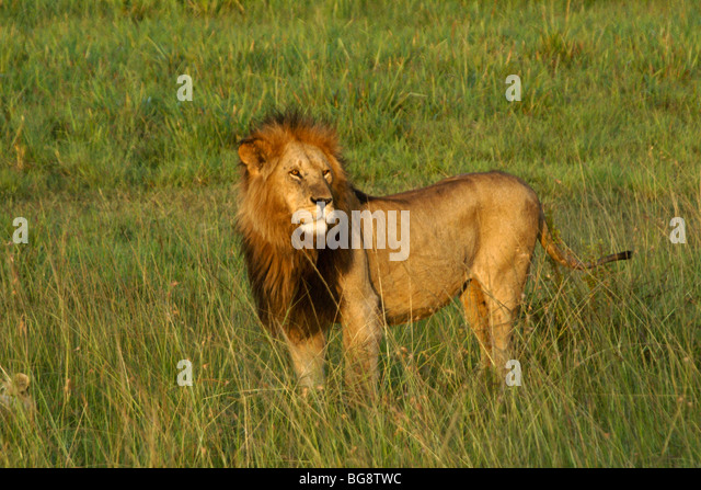 Male African lion on grassland, Masai Mara, Kenya - Stock Image