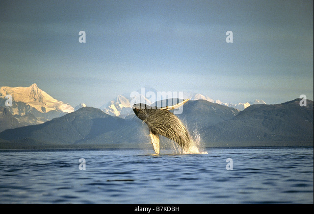 Humpback Whale breaching, Icy Straits, Southeast Alaska - Stock Image