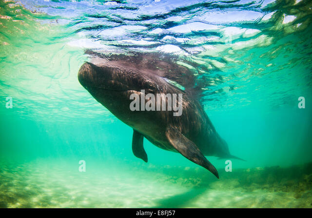 Dolphin swimming in ocean - Stock Image