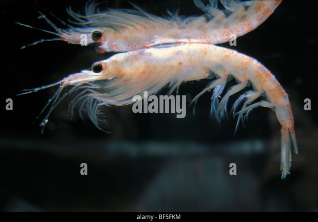"krill the euphausiid shrimp Euphausiids, or krill, are shrimp-like planktonic crustaceans found throughout the earth's oceans the term euphausiid comes from the greek roots eu = ""true"", phane = ""to show,"" and ousia = ""substance or."