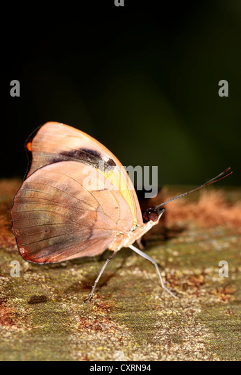 Grecian Shoemaker Butterfly - Stock Image