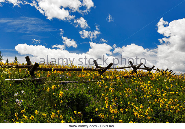Flowers along and old wooden fence, Crested Butte,Colorado - Stock Image