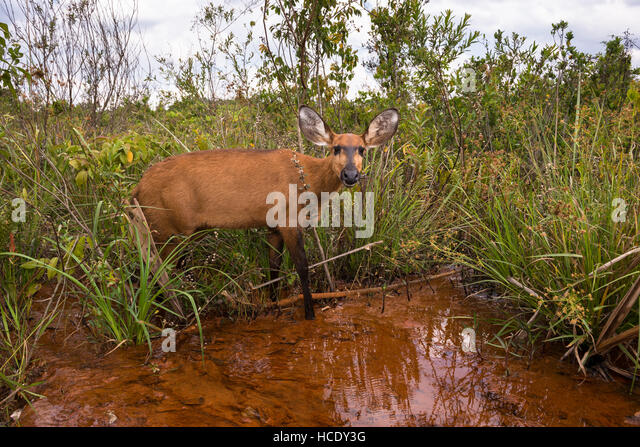 A female Marsh Deer in its habitat, a wetland in Central Brazil - Stock Image