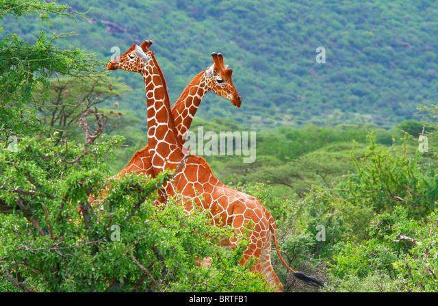 Fight of two giraffes. Africa. Kenya. Samburu national park. - Stock Image