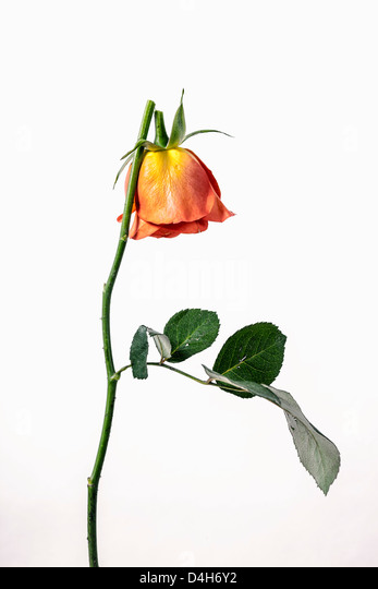 a broken rose - Stock Image