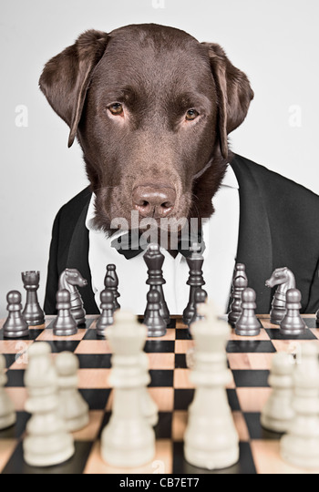 Chocolate Labrador in Tuxedo Playing Chess - Stock Image