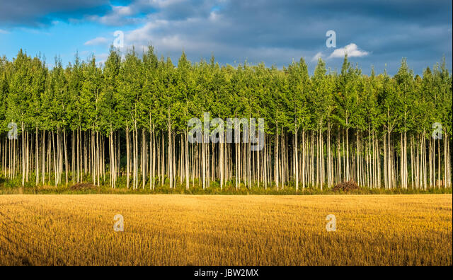 Landscape with straight tree row at summer day in Finland - Stock Image
