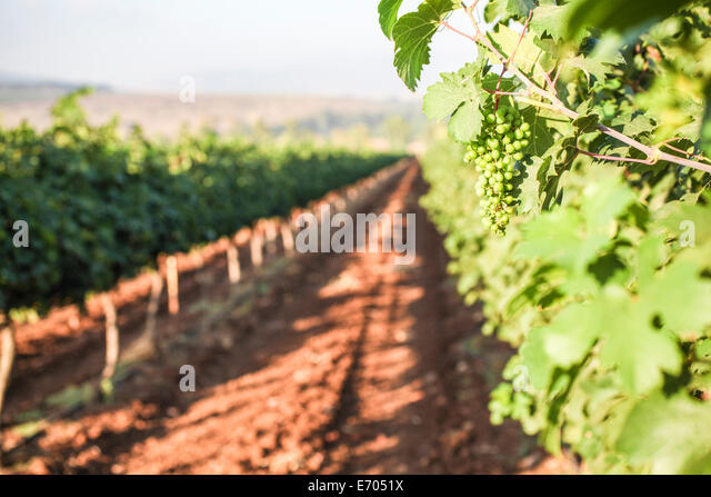New growth in vineyard, Galilee, Israel - Stock Image