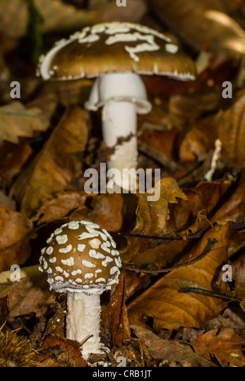 Poisonous panthercap mushrooms push through brown dead leaves in woodland - Stock Image
