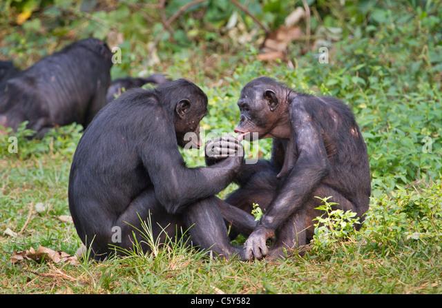 Bonobo (Pan panicus) doing hand wrestling, D.R. Congo. - Stock Image