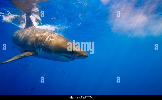 Great white shark off Guadalupe Island, Mexico - Stock Image