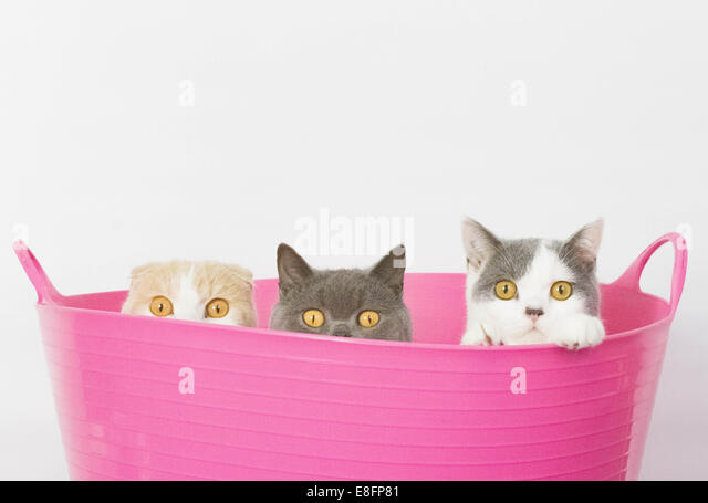 Three cats sitting in pink bucket - Stock Image
