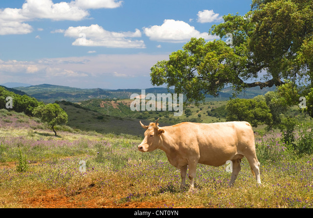 domestic cattle (Bos primigenius f. taurus), cow on dry meadow vegetation in spring, Spain, Andalusia - Stock Image