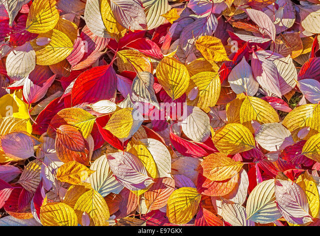 Colorful background made of autumn leaves. - Stock Image